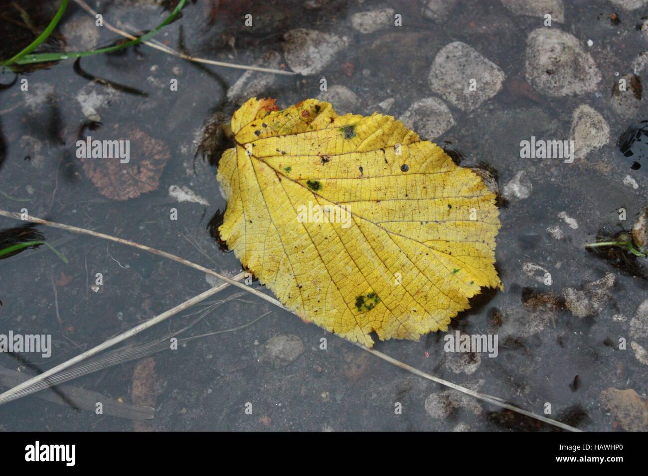 Feuille jaune dans l'eau de pluie Photo Stock