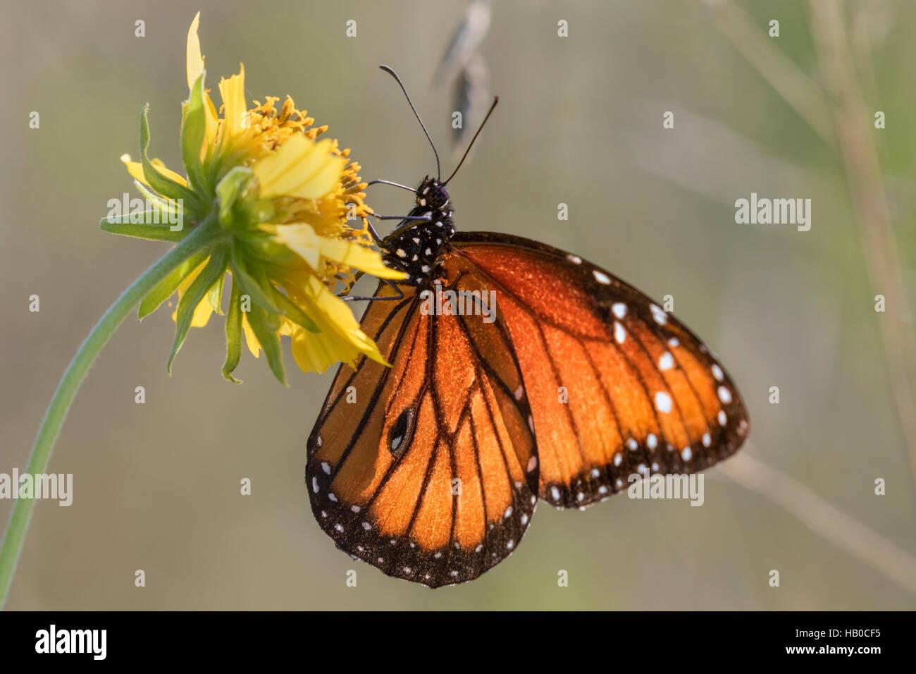 Papillon Danaus gilippus (Queen) se nourrir dans une prairie ensoleillée, Aransas, Texas, États-Unis Photo Stock