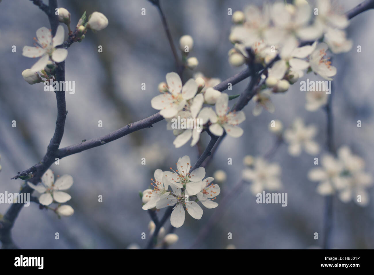 Belle Fleur Fleur De Cerisier Blanc Libre Banque D Images Photo