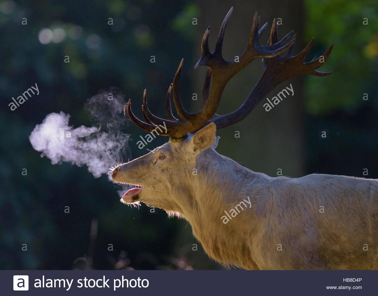 Red Deer (Cervus elaphus), l'orniérage stag, forme blanche, belling, rétroéclairé, souffle Photo Stock
