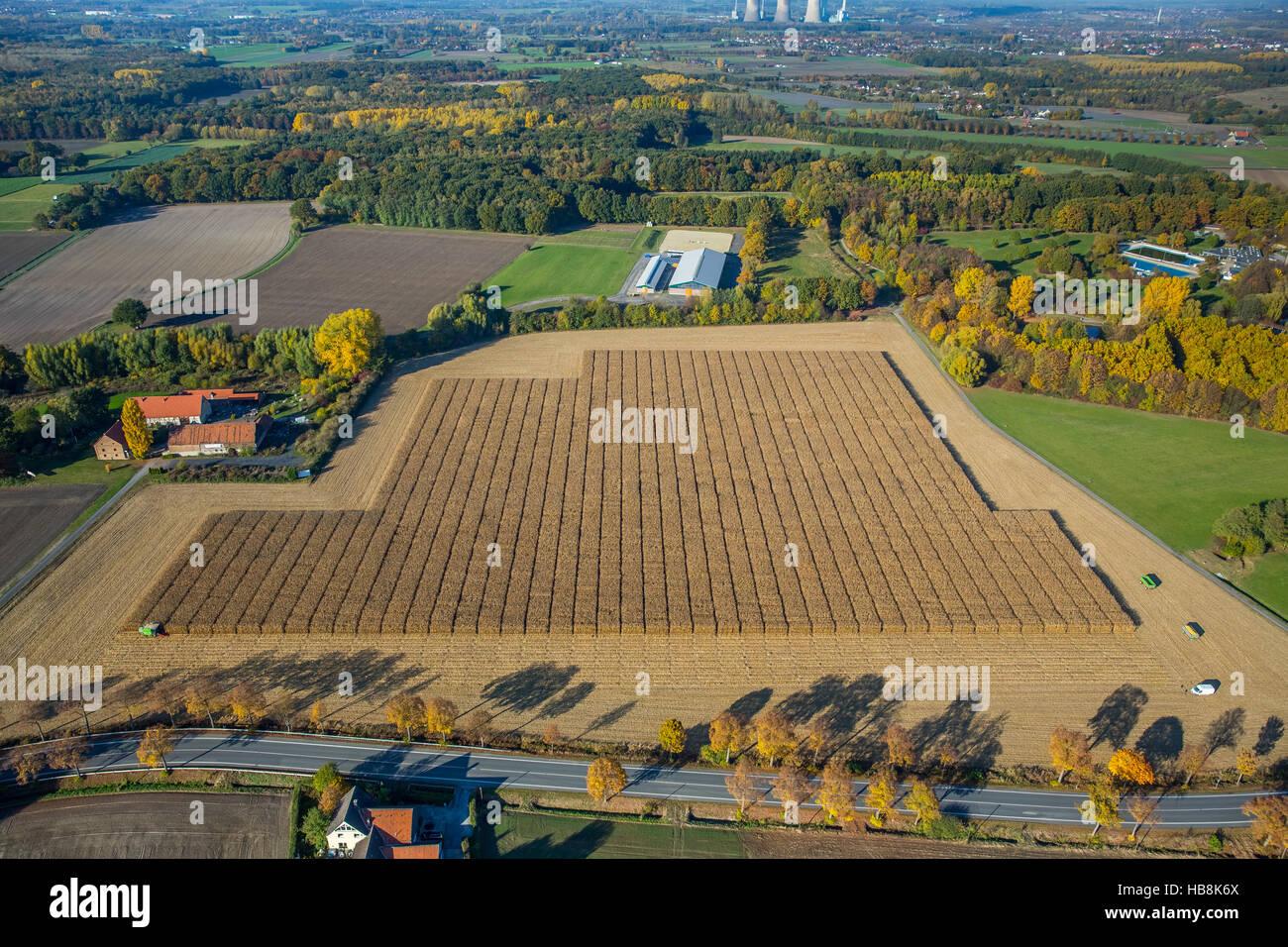 Vue aérienne des cultures de maïs, avec l'appui scientifique Pelkum, Kamen Street Barbecke, Hamm, Photo Stock