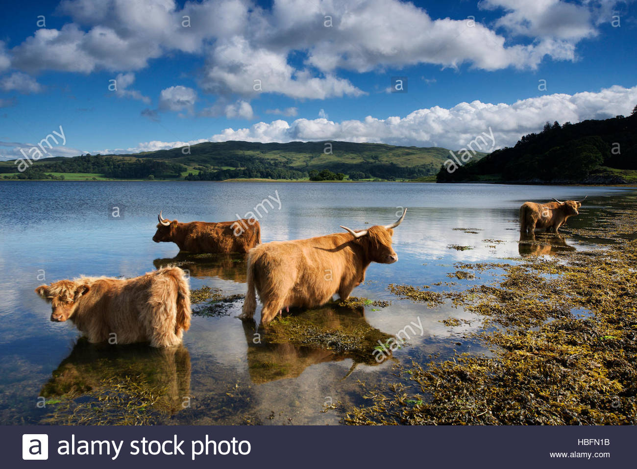 Highland cattle dans une ferme de l'Connel. Photo Stock