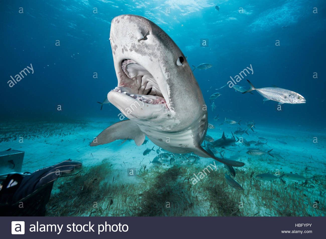 Un requin tigre à Tiger Beach aux Bahamas. Photo Stock