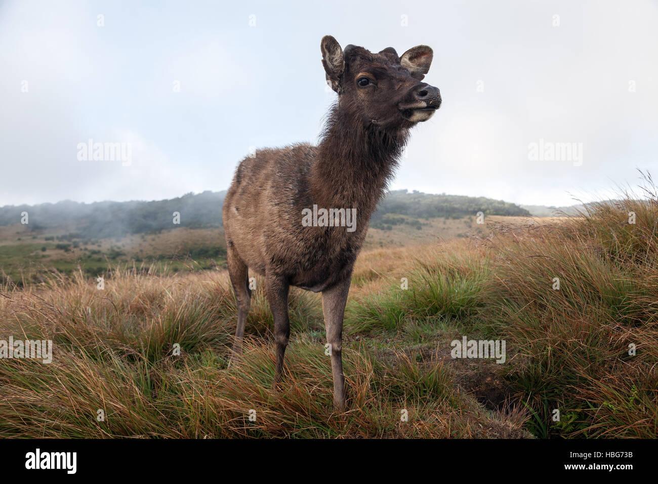 Sambar deer (Cervus unicolor), femme, le Parc National de Horton Plains, Province, Sri Lanka Photo Stock