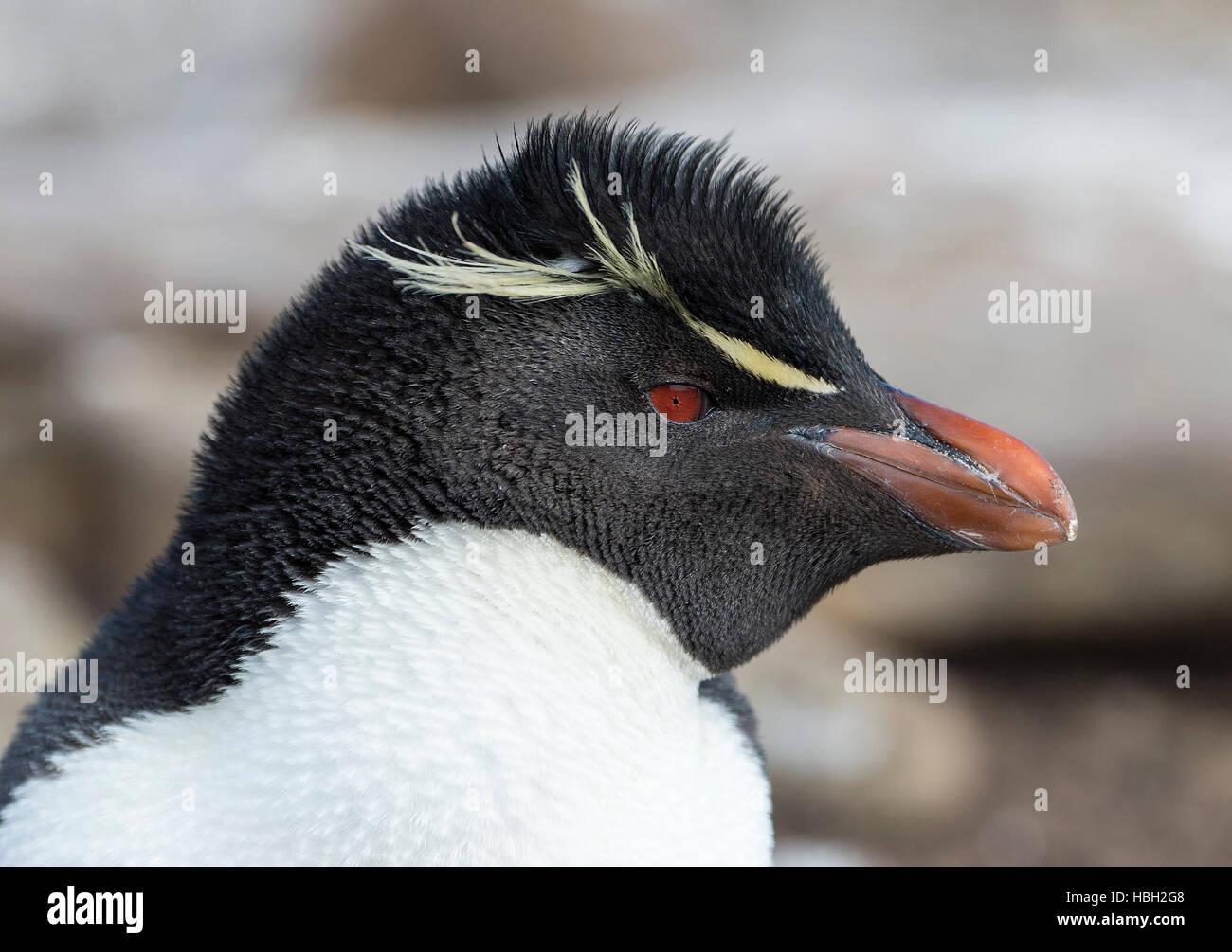 Portrait d'un manchot gorfou sauteur (Eudyptes chrysocome) Photo Stock