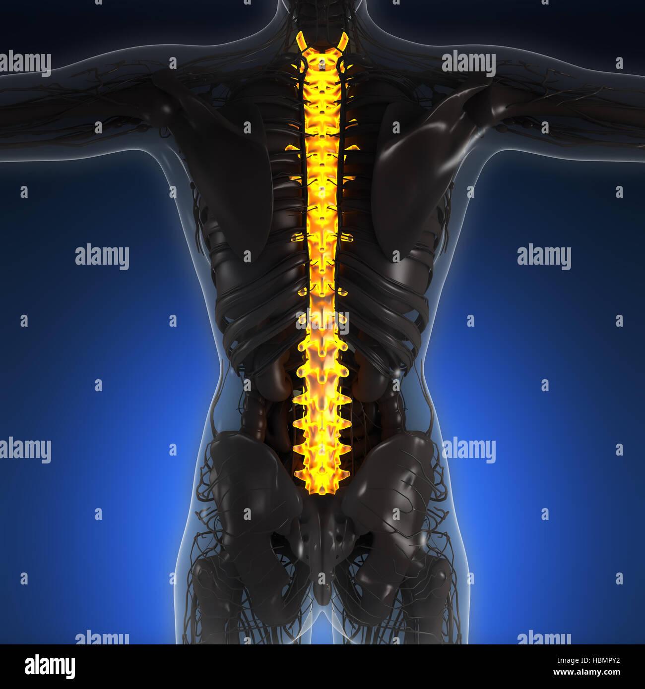 La science de l'anatomie du corps humain dans x-ray de bougies de dorsale Banque D'Images
