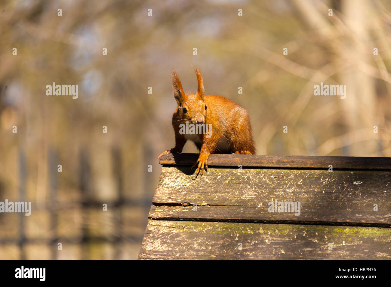 Sqirrel en parc, Berlin, Allemagne Photo Stock