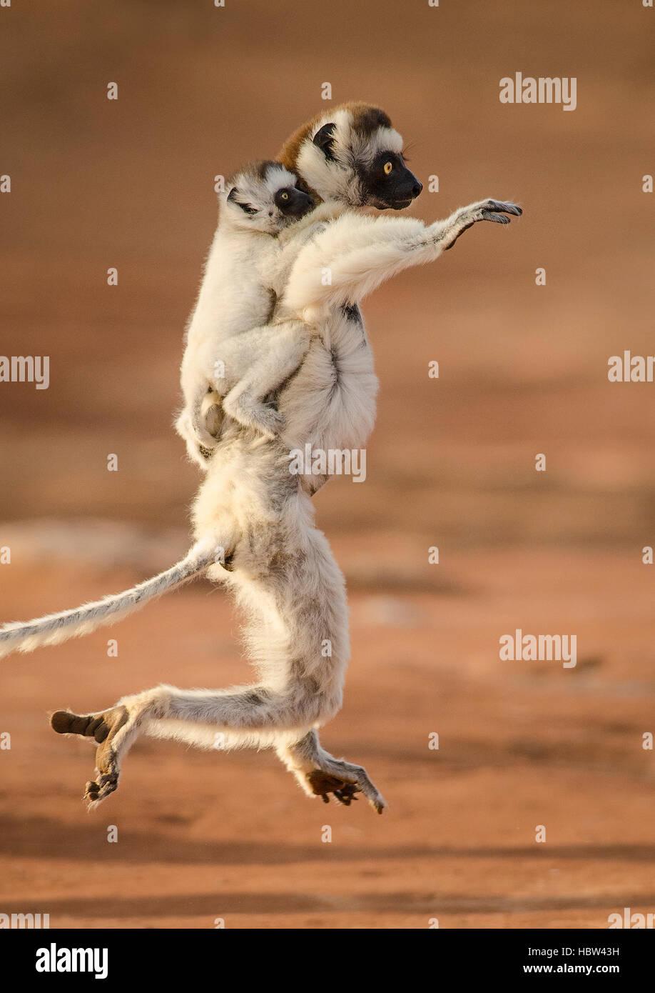 La danse de Verreaux Sifaka (Propithecus verreauxi) la mère et l'enfant Photo Stock