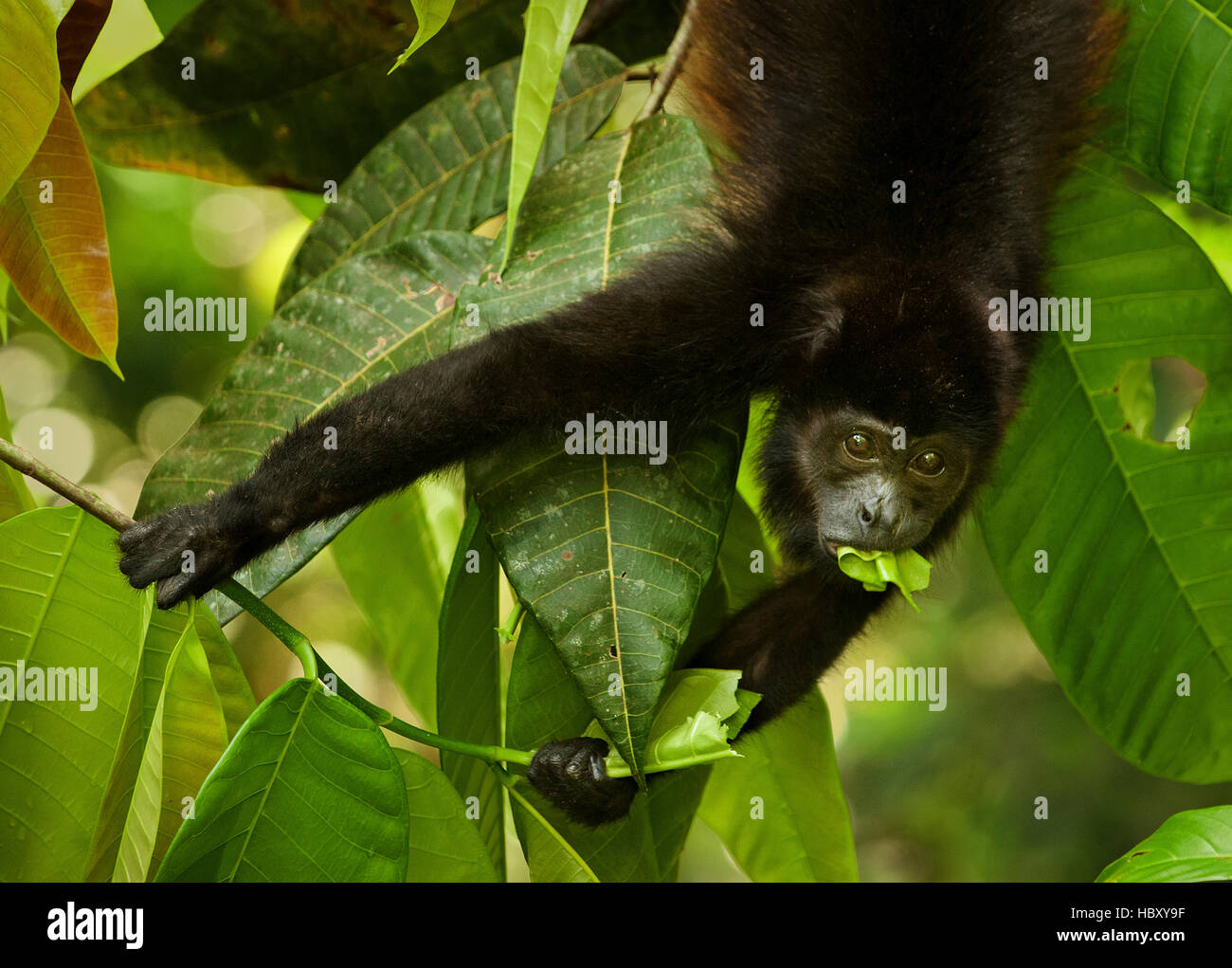 Manteau Singe hurleur (Alouatta palliata) manger une feuille, Costa Rica Photo Stock