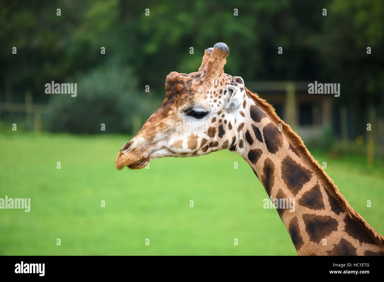 Girafe Up Close and Personal Photo Stock