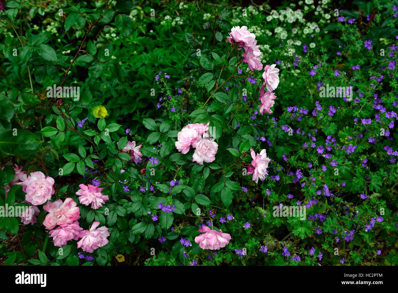 Geranium pyrenaicum bill wallis rosa chinensis annonce vieux rose blush rose bleu combinaison régime plantation Photo Stock