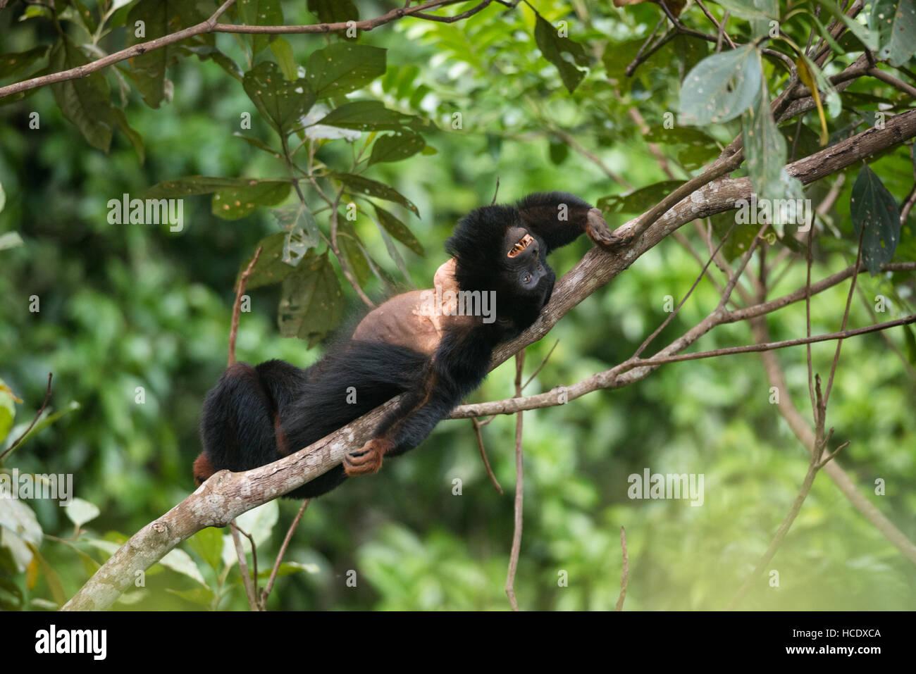 Vulnérables UN la main dans le singe hurleur de la forêt amazonienne Photo Stock
