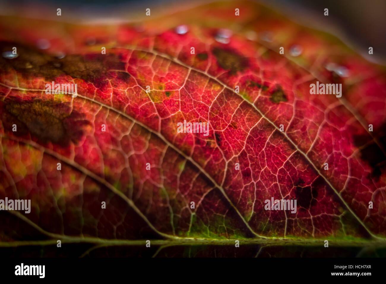 Close up d'un automne rouge rétroéclairé feuilles présentant des veines Photo Stock