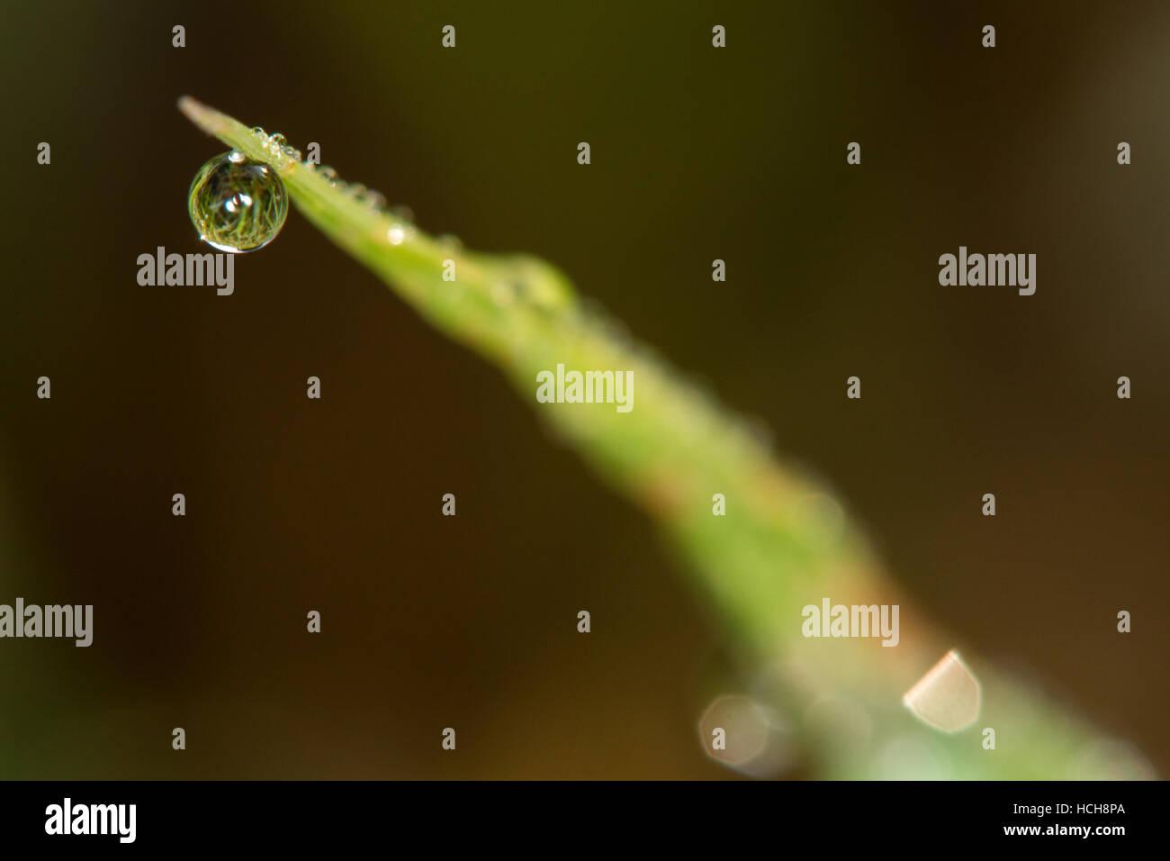 La réfraction de l'herbe dans la masse autour de goutte d'eau suspendue à un seul brin d'herbe Photo Stock