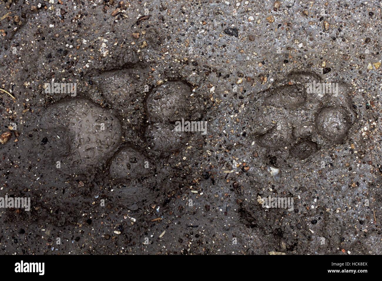 Loup indien,(Canis lupus pallipes),et le chacal, Indien(Canis aureus indicus),paw tracks dans la boue, Gujarat, Inde.(Wolf-côté gauche et Jackal-côté droit). Banque D'Images