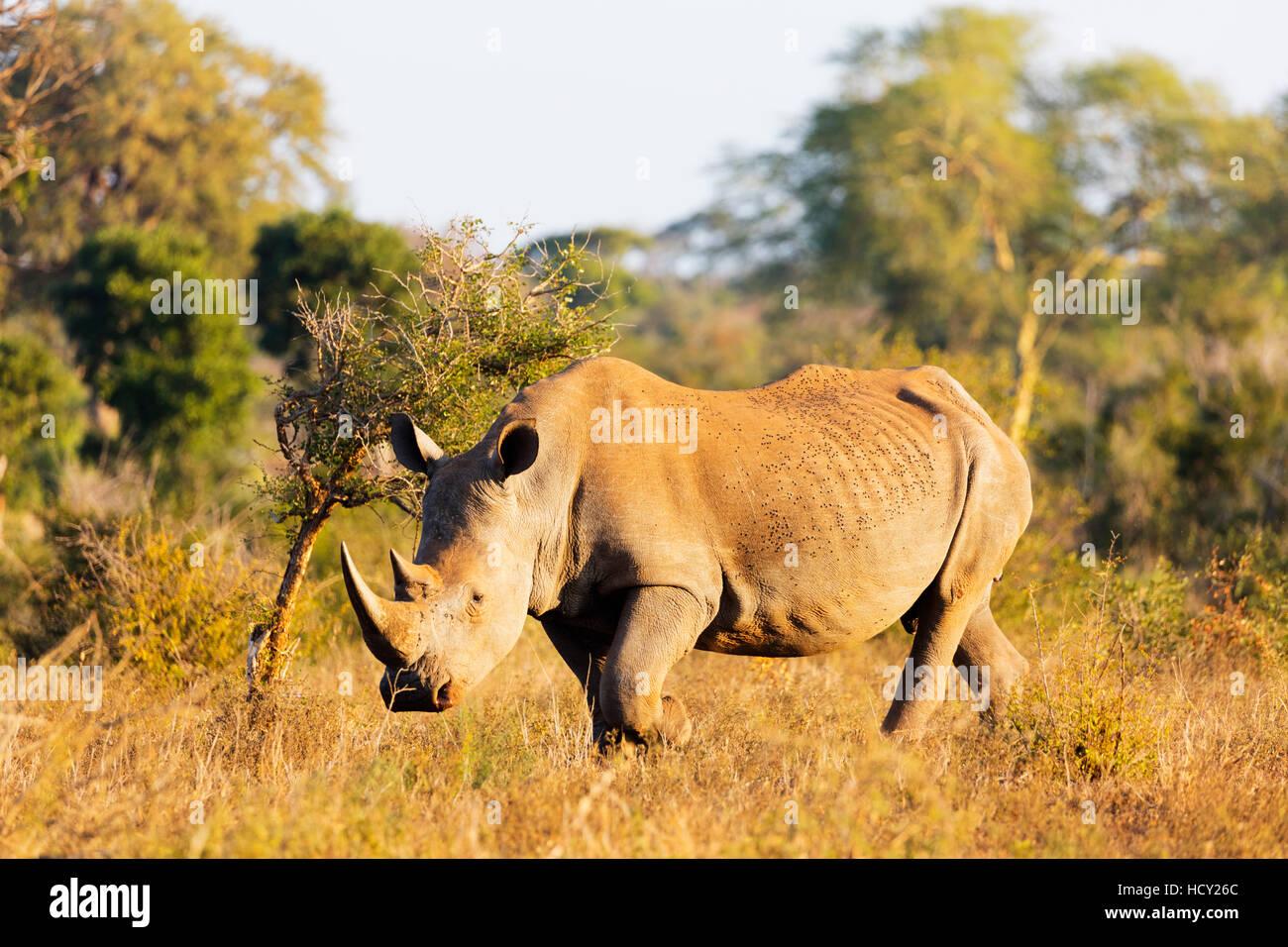Le rhinocéros blanc (Ceratotherium simum), Kruger National Park, Afrique du Sud, l'Afrique Photo Stock