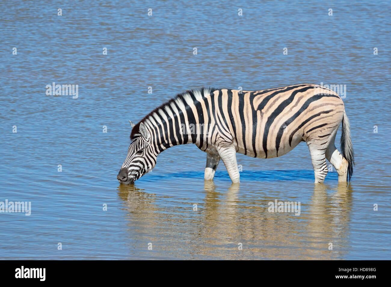 Le zèbre de Burchell (Equus quagga burchellii), de boire dans un étang, Etosha National Park, Namibie, Photo Stock