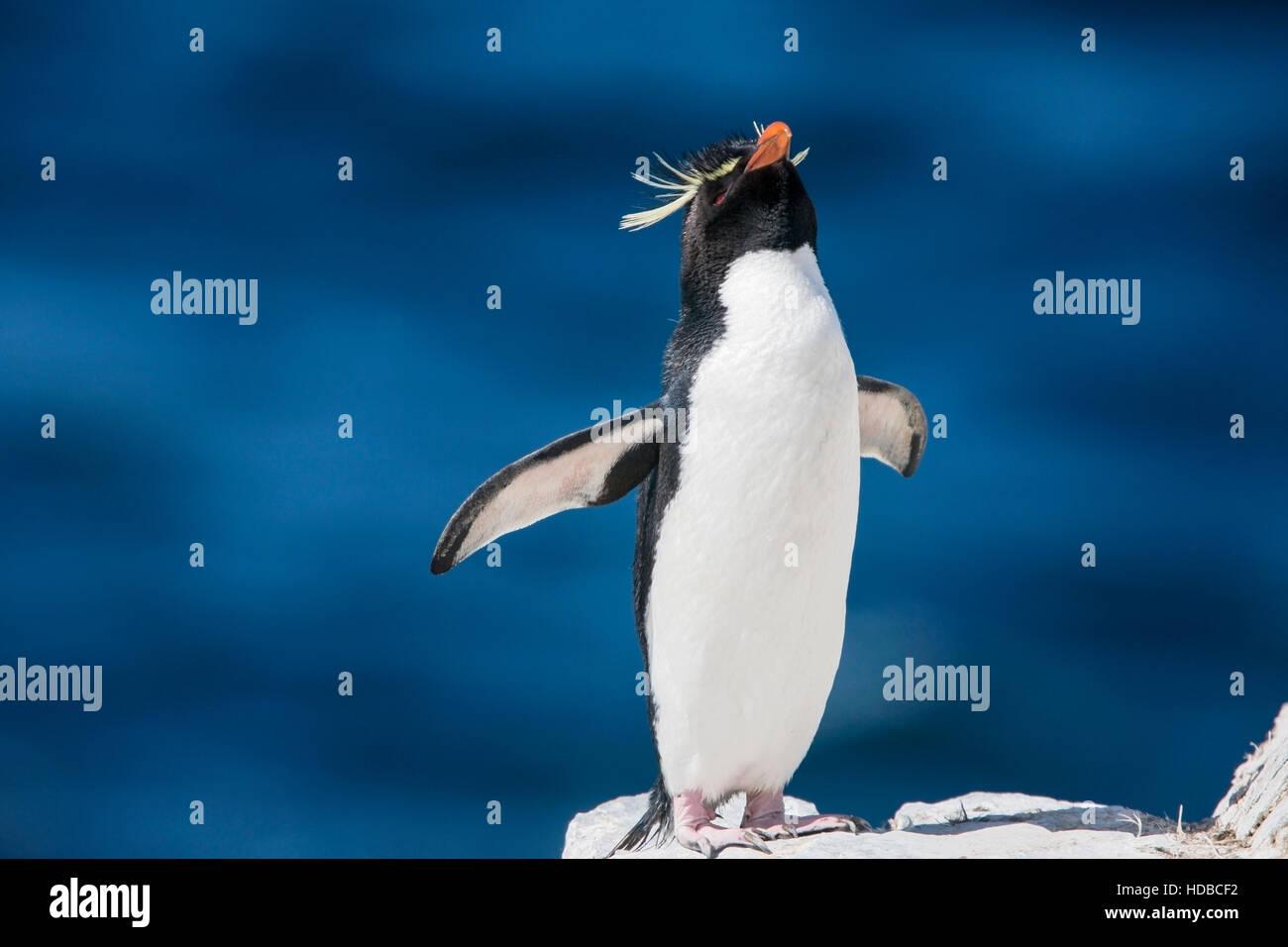 Rockhopper Penguin (Eudyptes chrysocome) adulte debout sur le haut de falaise en colonie de reproduction, avec derrière Photo Stock