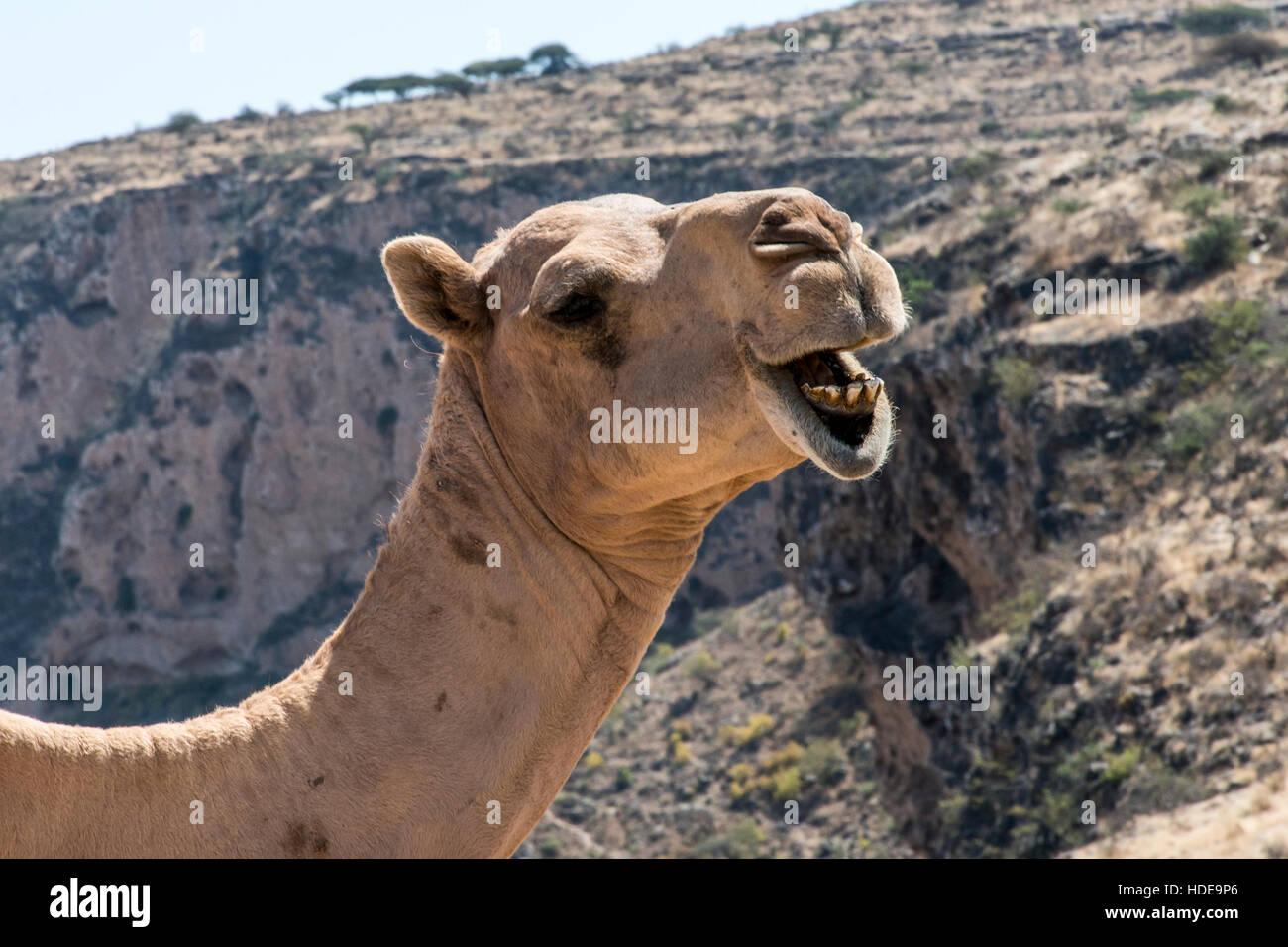 De La Faune A L Interieur De Chameau Drole De Camera En Oman Salalah Arabe Paysage Photo Stock Alamy