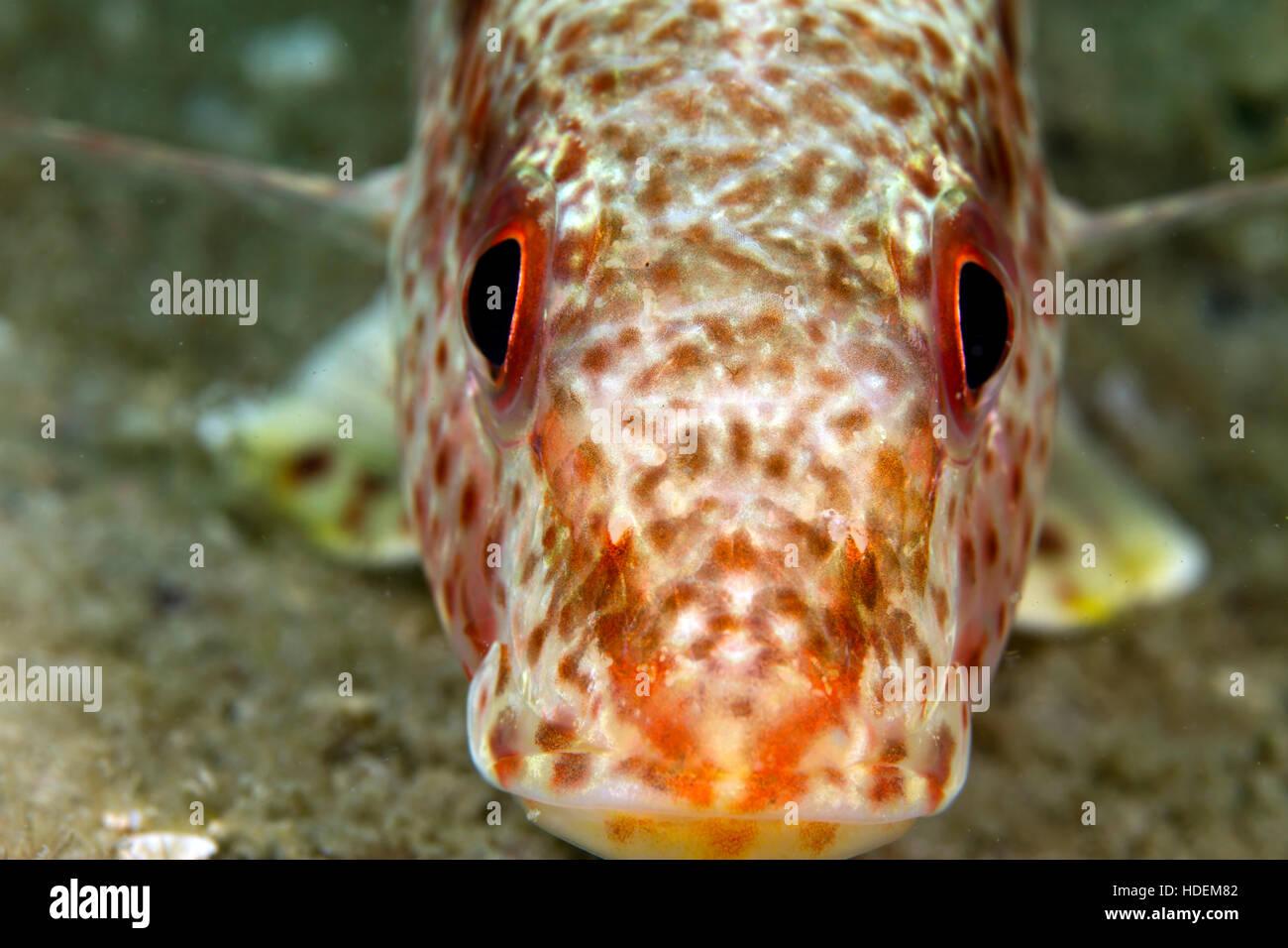 Œil de poisson macro. Ce beau petit gars m'a permis de faire la queue pour obtenir un tir avec les deux yeux Photo Stock