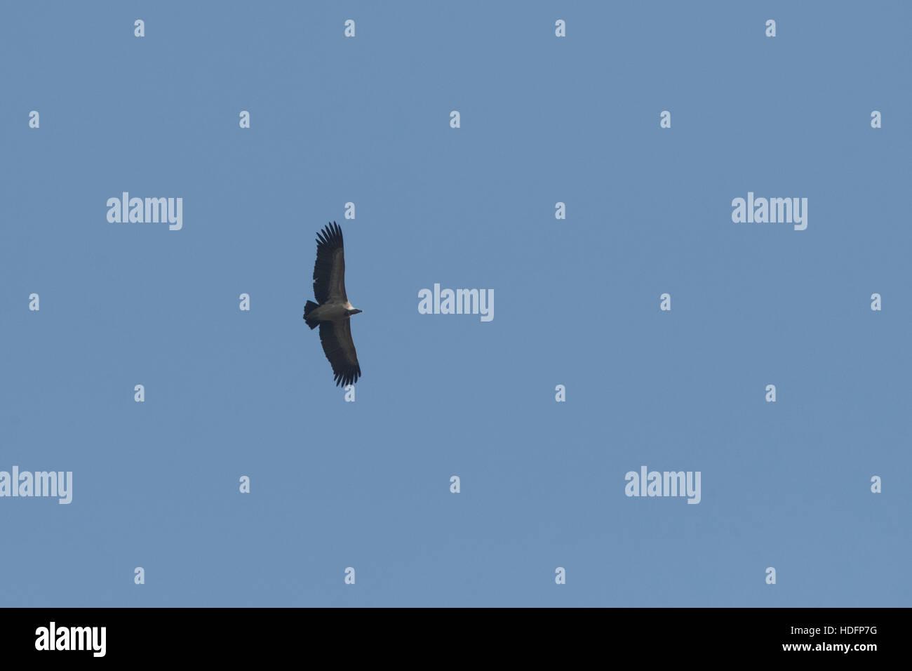 Le vautour à croupion blanc est un vieux monde vulture étroitement liée à l'vautour fauve Banque D'Images