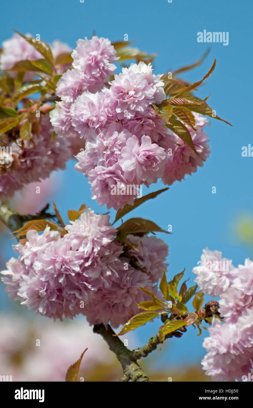 le laurier cerise prunus laurocerasus s un arbuste ou petit arbre de taille moyenne largement. Black Bedroom Furniture Sets. Home Design Ideas