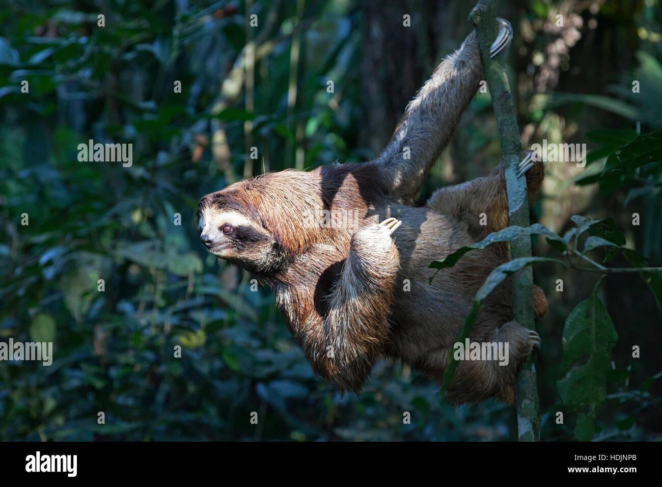 Brown-throated trois-toed Sloth (Bradypus variegatus) escalade arbre en sloth sanctuary Photo Stock