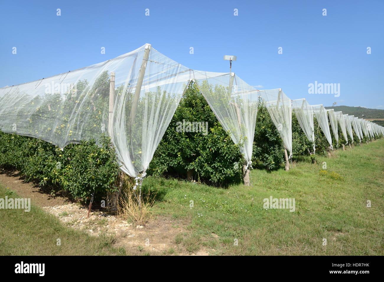 Filets de protection des cultures pour garder les oiseaux au large de pommiers dans une zone de production intensive Photo Stock