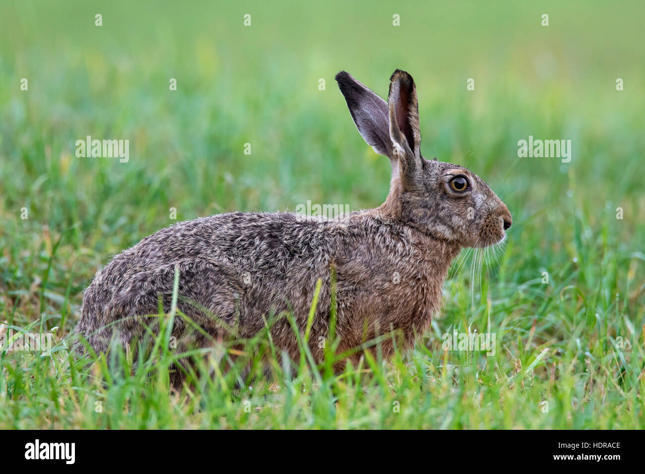European Brown Hare (Lepus europaeus) assis dans les prairies Photo Stock