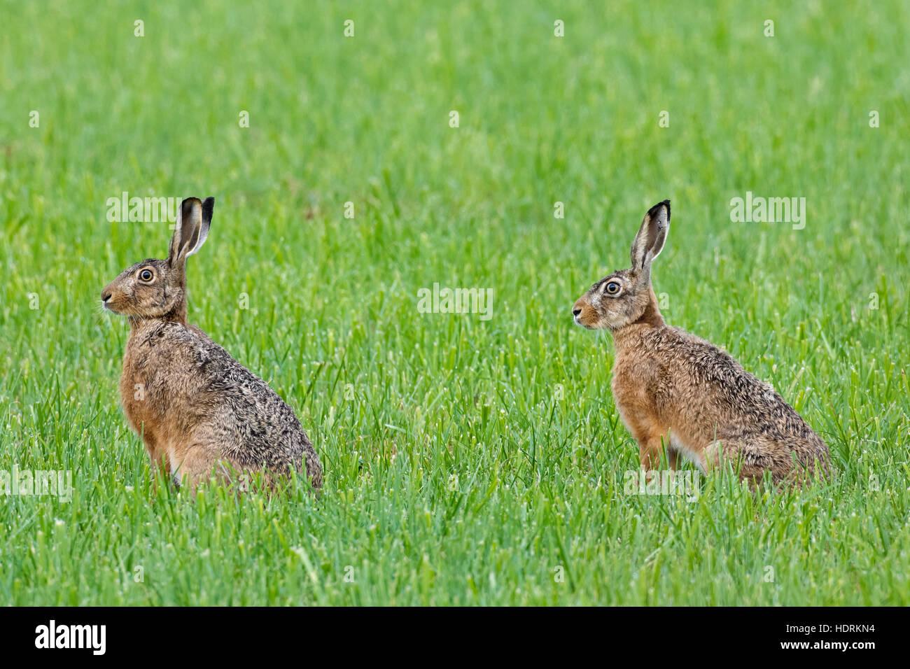 Deux lièvres bruns d'Europe (Lepus europaeus) assis dans les prairies Photo Stock