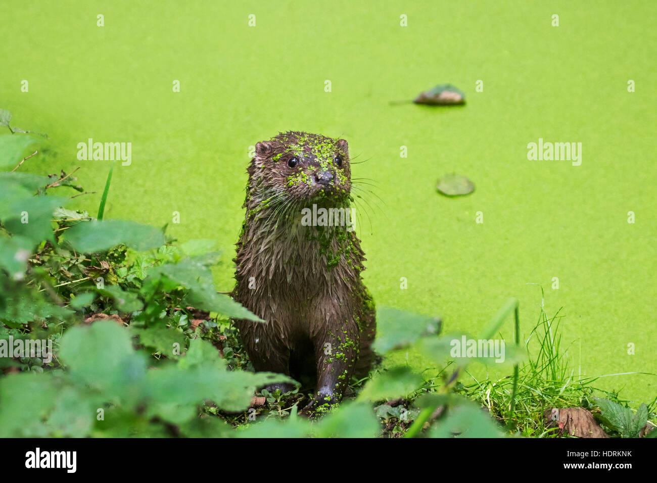 Rivière européenne loutre (Lutra lutra) dans l'étang couvert de lentilles d'eau Photo Stock