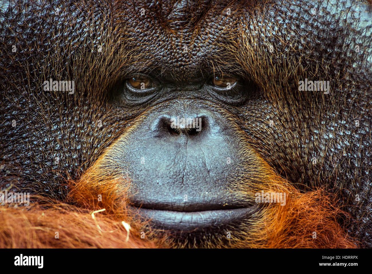 Portrait de l'orang-outan dans Chiang Mai zoo, Thaïlande; espèce Pongo pygmaeus famille des Photo Stock