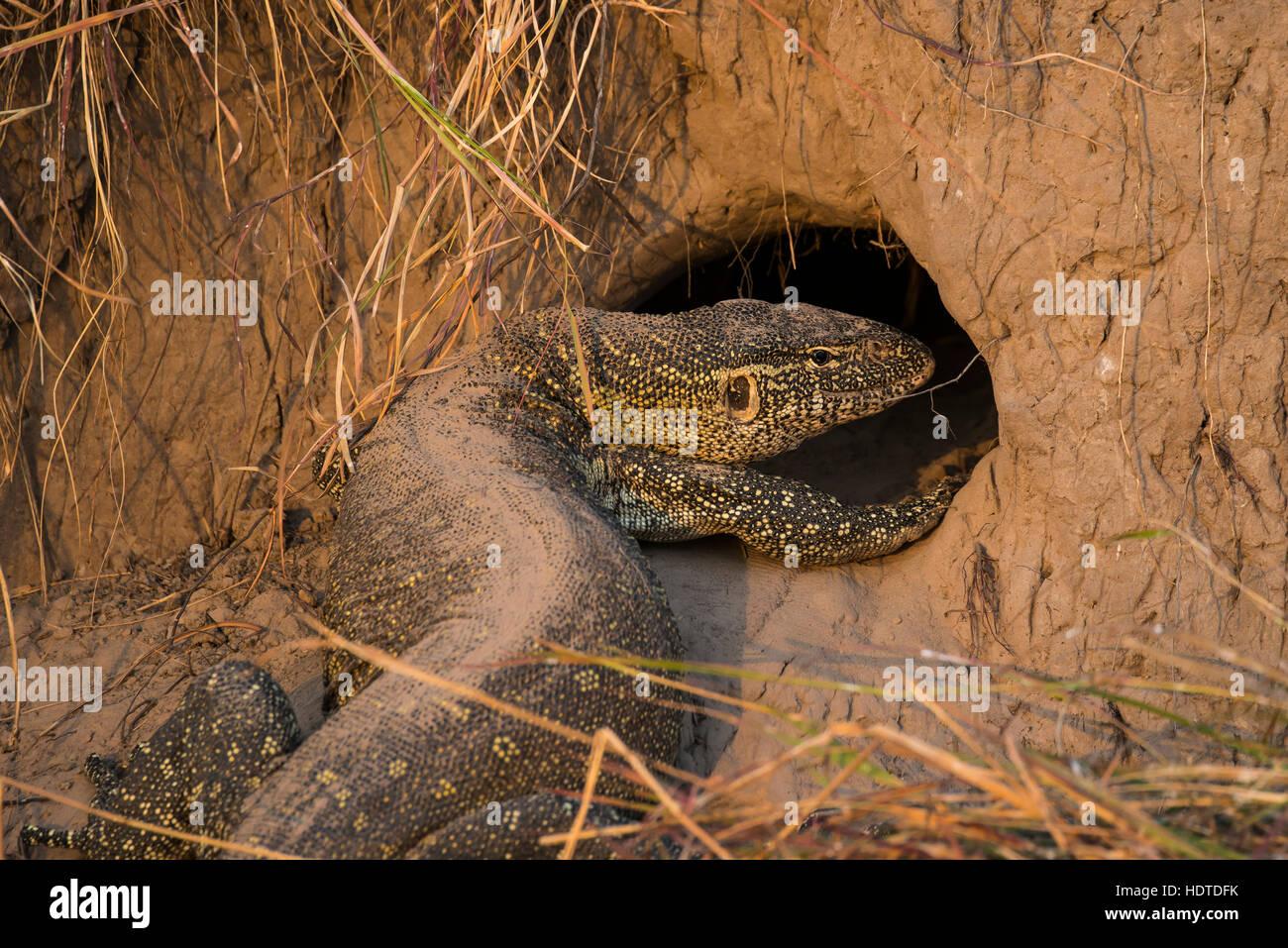 Moniteur du Nil (Varanus niloticus) en face du trou de la termitière, Chobe National Park, Botswana Photo Stock