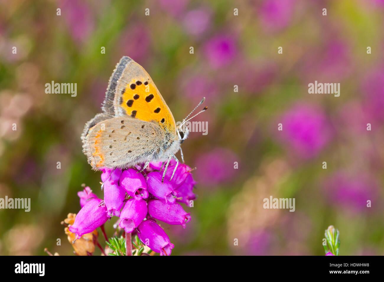 Petit papillon Lycaena phlaeas (cuivre) mâle adulte, perché sur Heather Bell. Powys, Pays de Galles. Septembre. Photo Stock