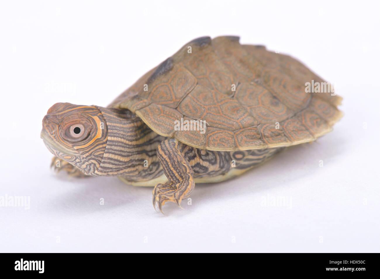 Le Mississippi, la tortue géographique Graptemys pseudogeographica kohni Photo Stock