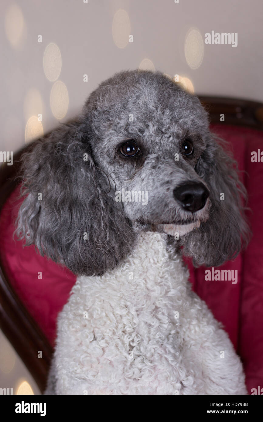 Head shot of poodle sitting in chair Photo Stock