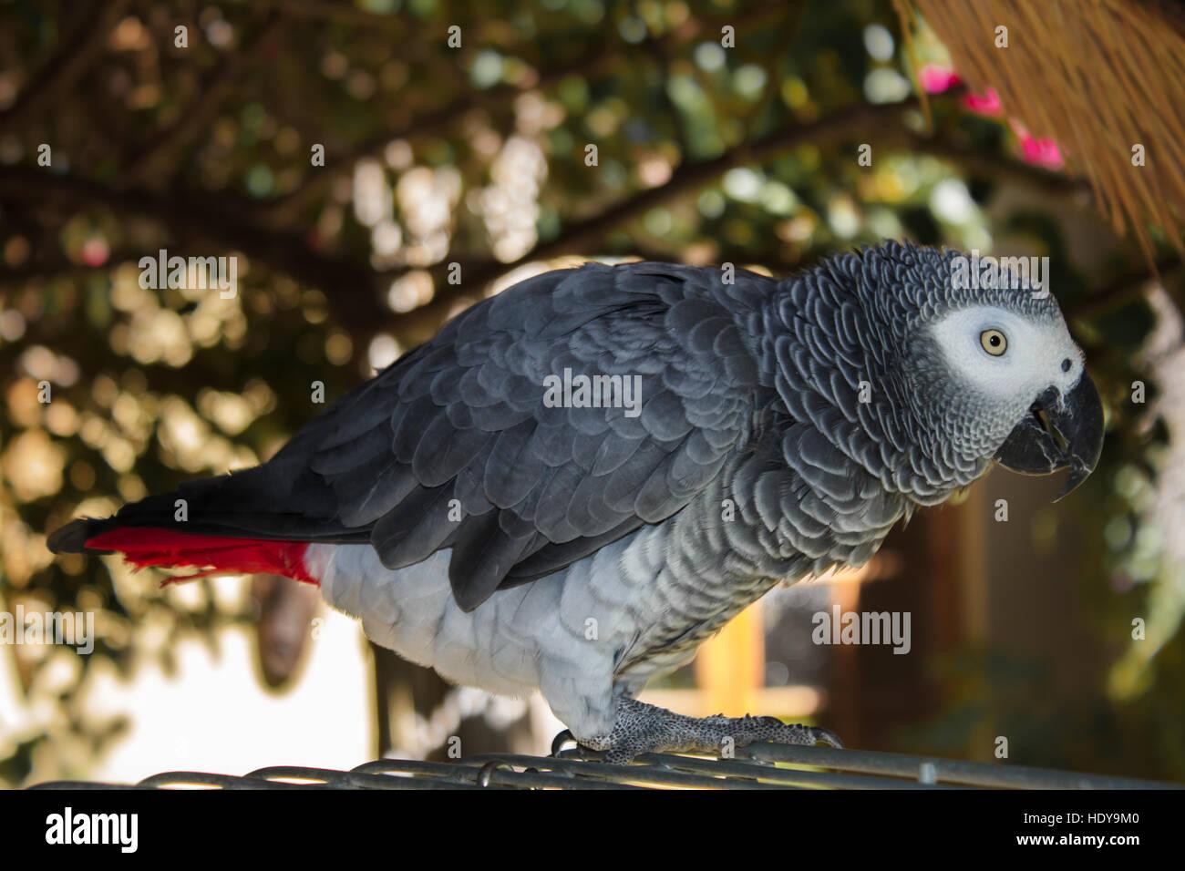 Du vrai live African parrot à la maison à côté de sa cellule Photo Stock