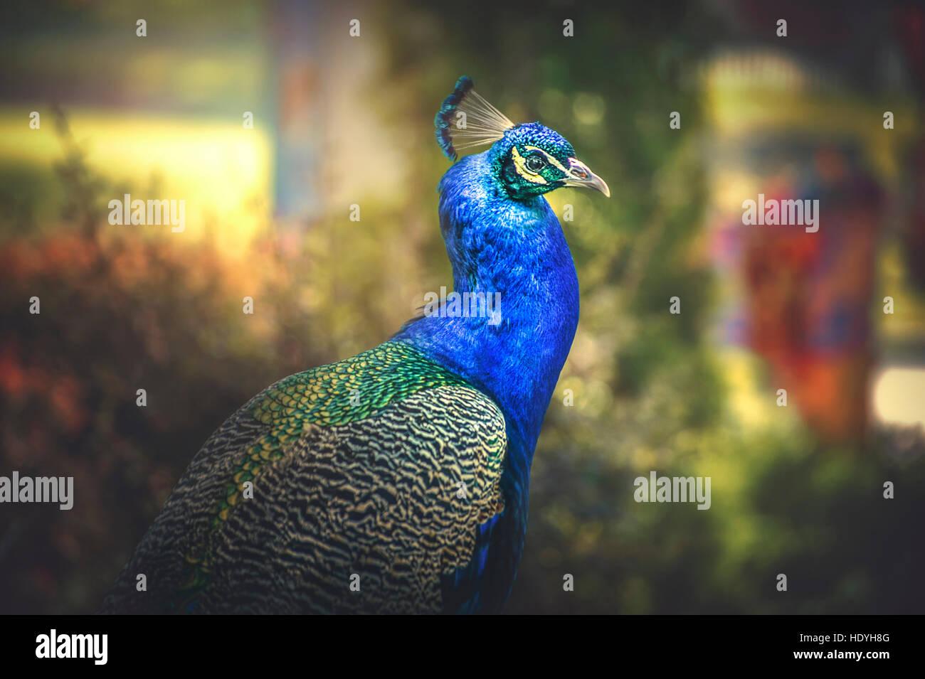 Nature,oiseau paon,couleurs,artistique, Photo Stock