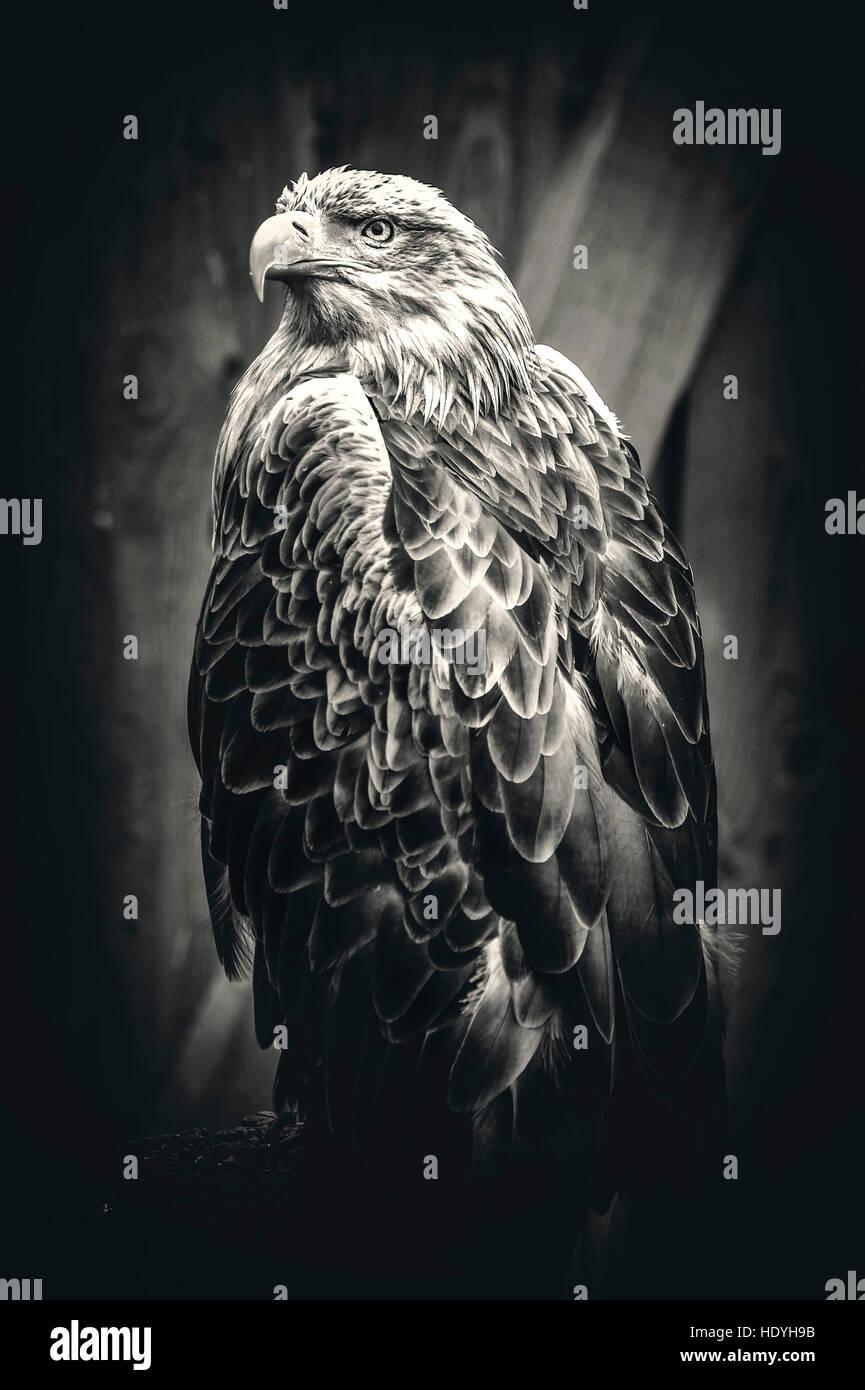 Hawk Eagle,art,oiseaux,nature,nature,sauvage,magique,artistique,,histoire naturelle,portrait, peak,plumes Photo Stock