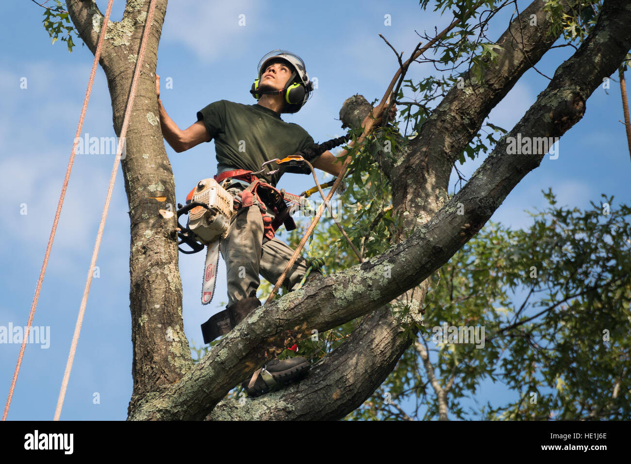 Un arboriculteur (tree surgeon) évalue un il est sur le point de faire. Photo Stock