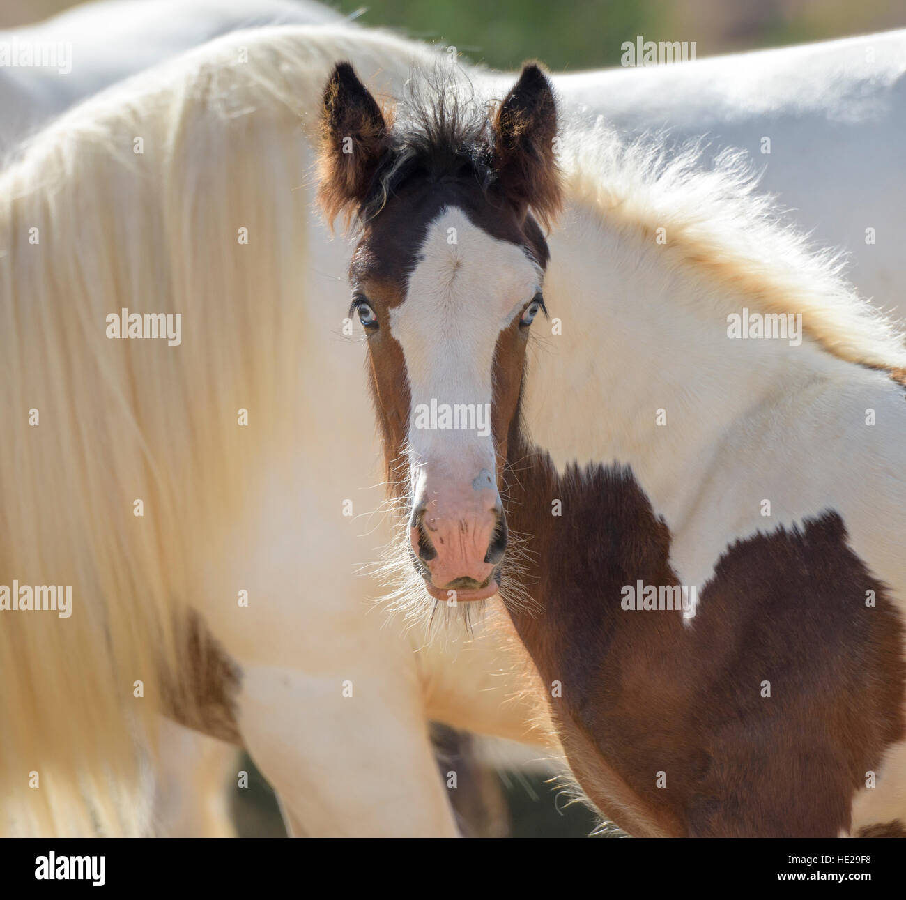 Gypsy Vanner cheval pouliche poulain Photo Stock
