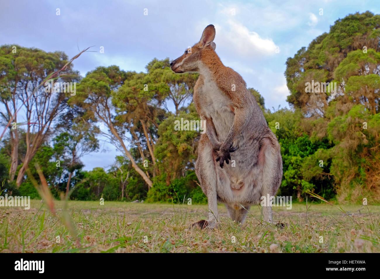 Un kangourou dans un champ dans l'état de Victoria, Australie Photo Stock