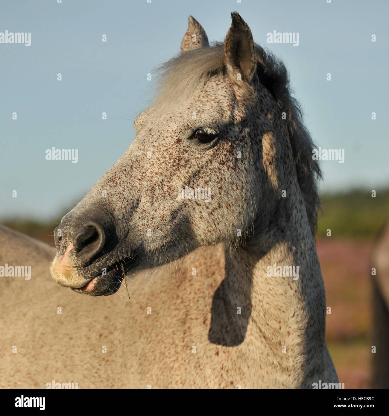 Dans le NewForest Wild horse Photo Stock