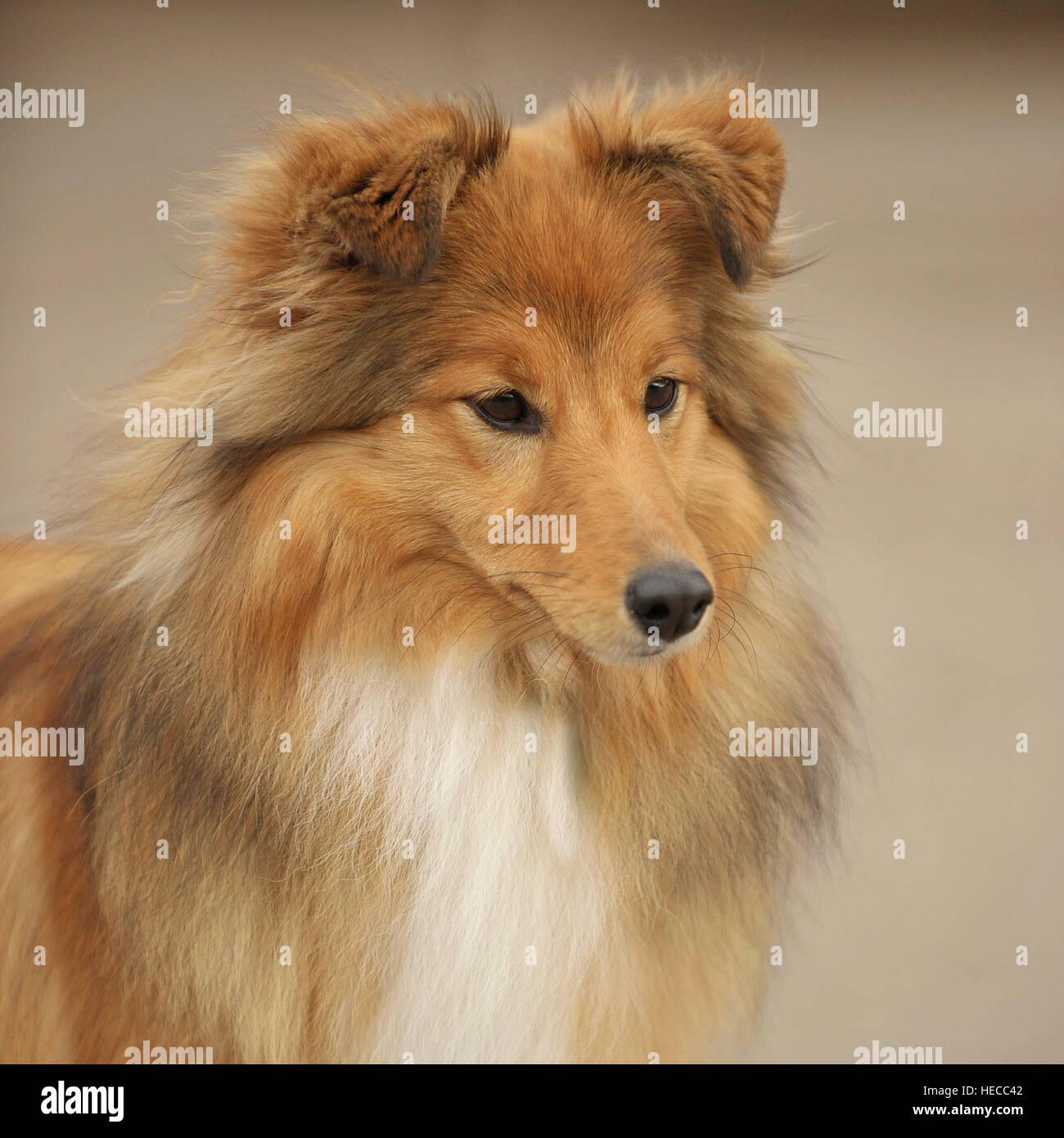 Shetland Sheepdog Banque D'Images