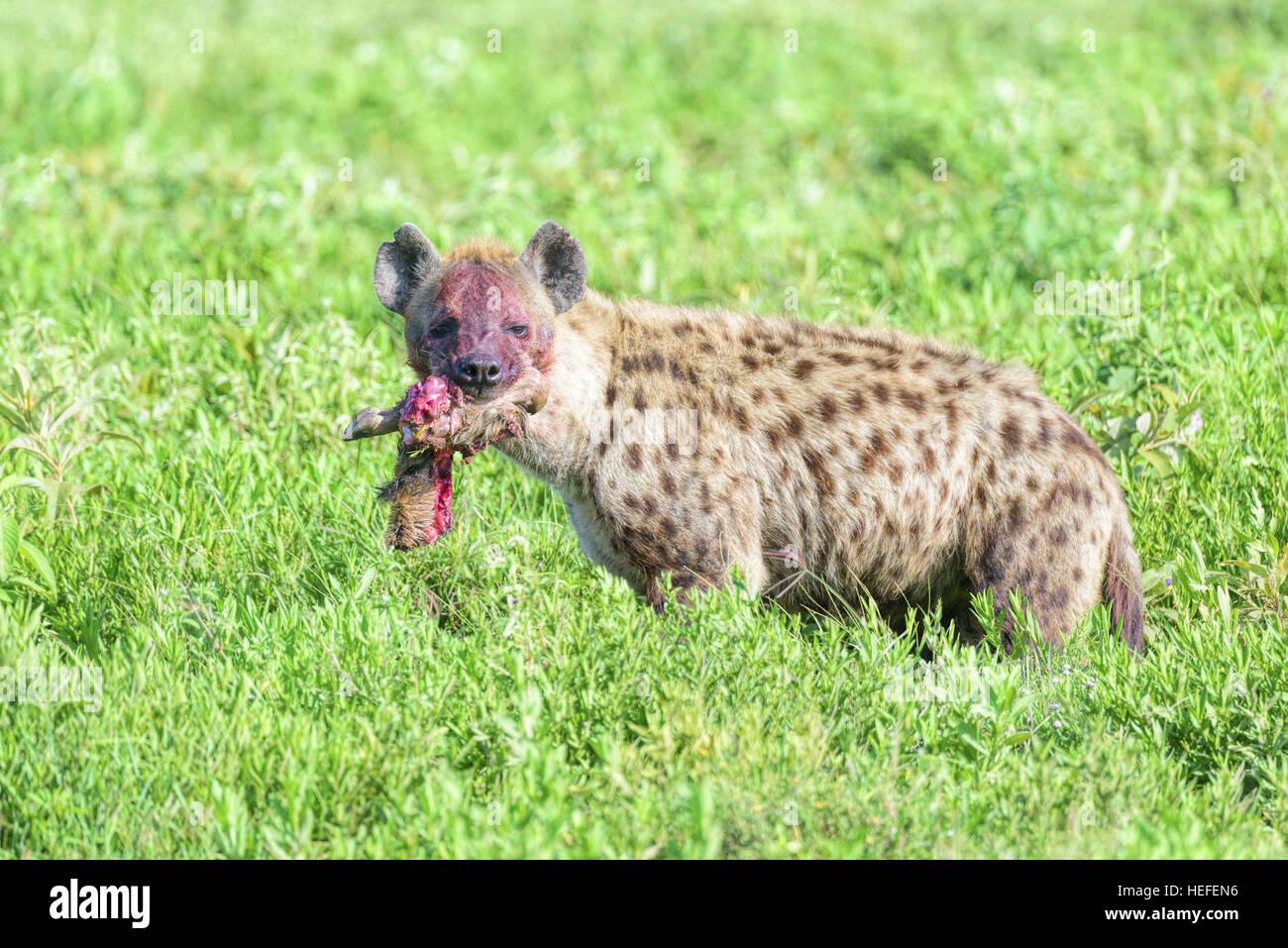 La face tachée de sang d'une hyène tachetée (Crocuta crocuta) avec le membre d'un des gnous Photo Stock