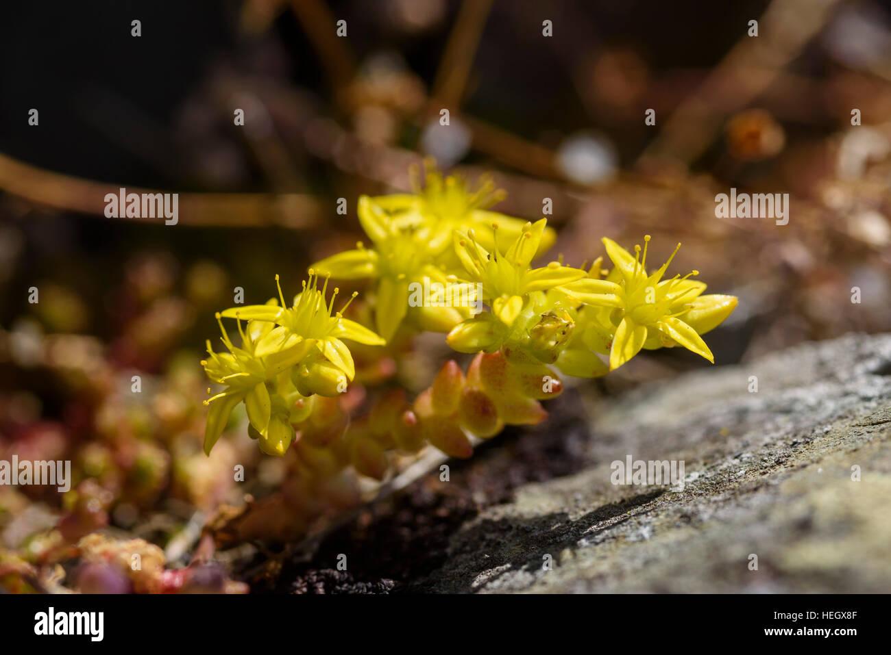 Biting Stonecrop Sedum acre, fleurs sauvages,, Carrick, Dumfries et Galloway, Écosse Photo Stock