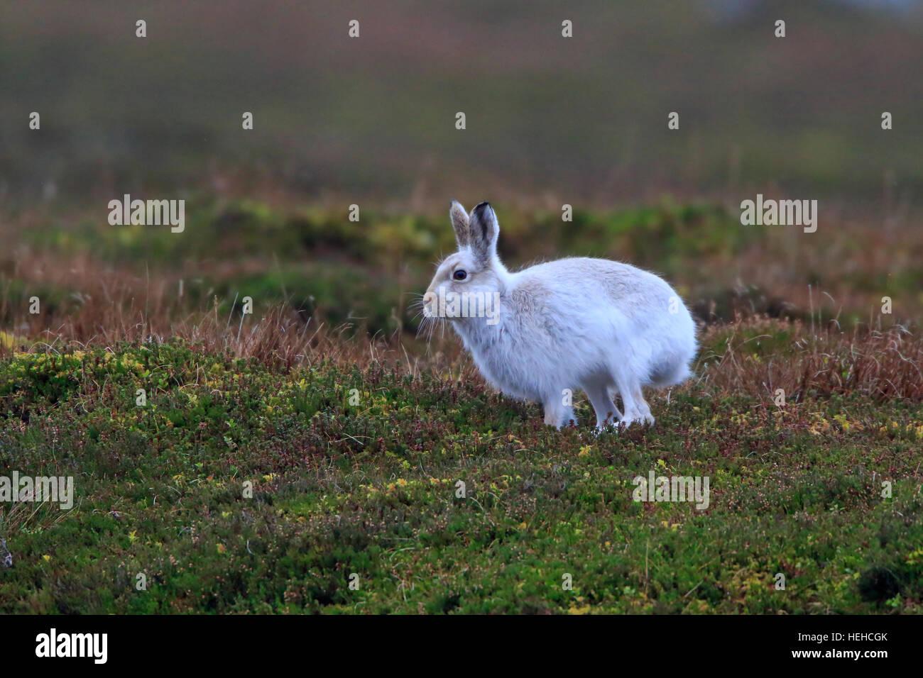 Lièvre en hiver manteau sur une lande écossaise Photo Stock