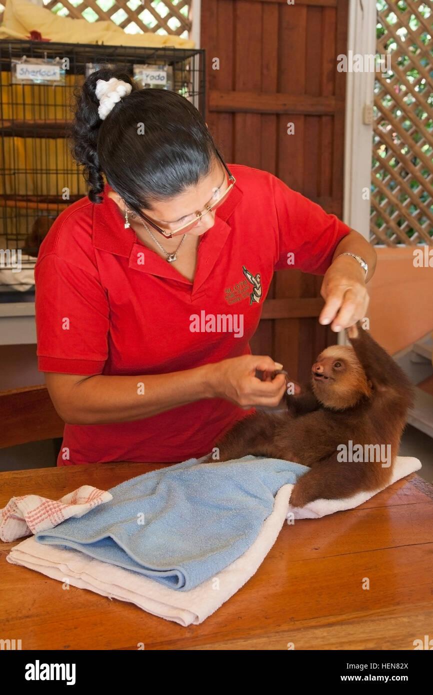 Avec gardien orphelin bébé Deux Hoffmann-toed Sloth (Choloepus hoffmanni) à la paresse Sanctuaire Photo Stock