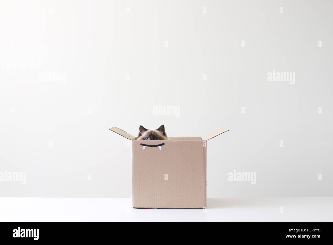 Chat Ragdoll se cacher en boîte carton avec dessin des dents de vampire Photo Stock