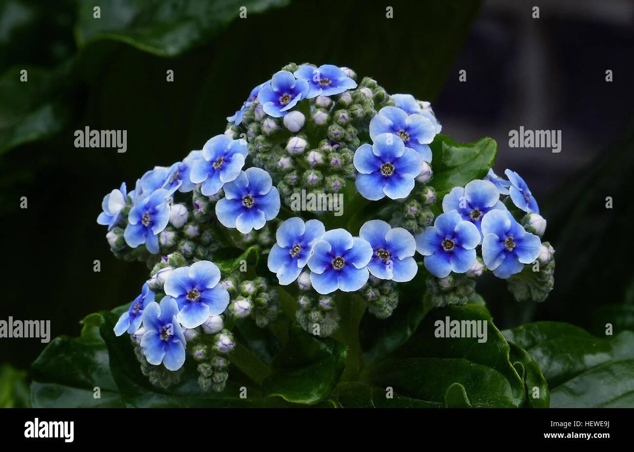 Avec Leur Epais Brillant Feuilles Et Fleurs Bleu Spectaculaire De L